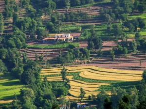 Terrace Farming Kasaulir