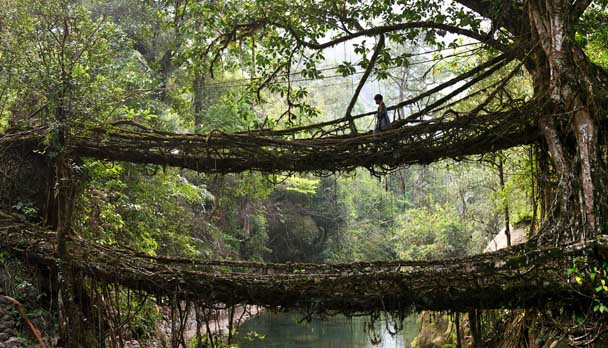 Old root bridge in Cherrapunji